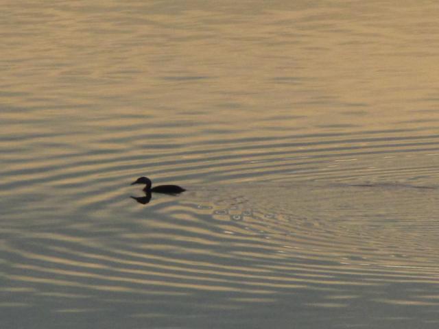 Черногуш гмуркач (Gavia arctica)