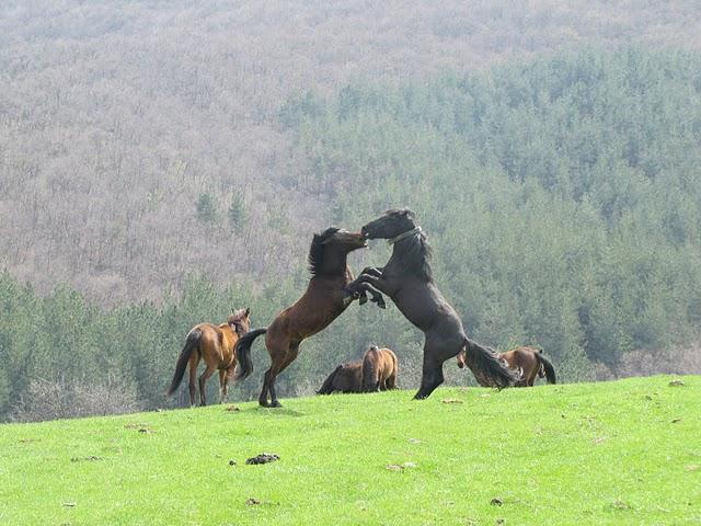 Semi-wild horses from the herd in Chernichino wild area (Photo: Daniela Kostadinova)