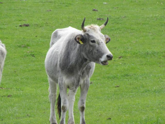 Gray Rhodopean Cow (Photo: Dessislava Kostadinova)
