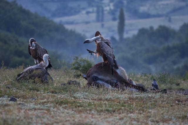 Битка на изгрев. Белоглави лешояди в сблъсък за разделяне на магарешкия труп (сн. Стефан Аврамов)