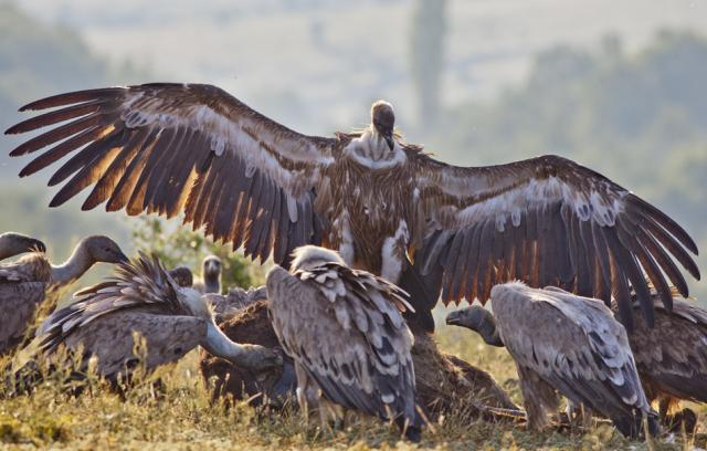 A dominating Griffon Vulture (Photo: Stefan Avramov)