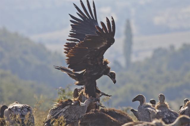 Черен лешояд се спуска върху трупа на магарето, прогонвайки хранещите се белоглави лешояди (сн. Стефан Аврамов)