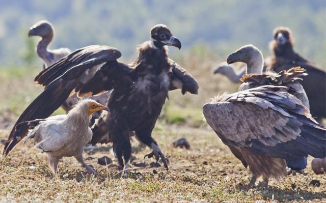The Eastern Rhodopes are one of the not many place in Europe where you can watch and take photos of three types ov vultures (Photo: Stefan Avramov)