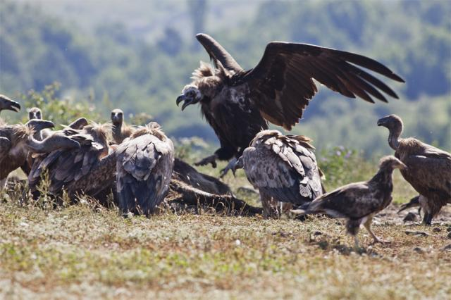 A Black Vulture in a battle with Griffon Vultures (Photo: Stefan Avramov)