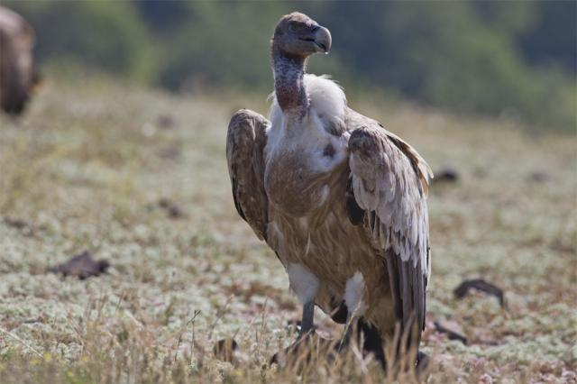 Griffon Vulture (Photo: Stefan Avramov)