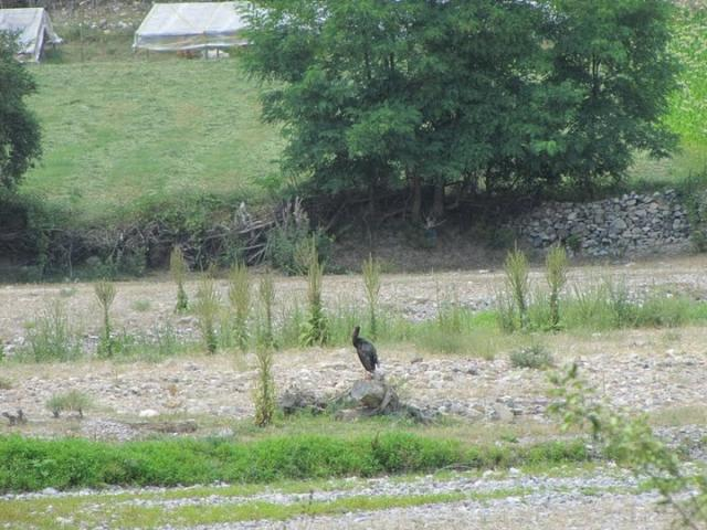 A Black stork near the Dazhdovnitsa River (Photo: Iva Tontcheva)
