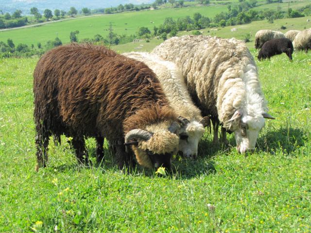 Karachachan sheep (Photo: Dessislava Kostadinova)