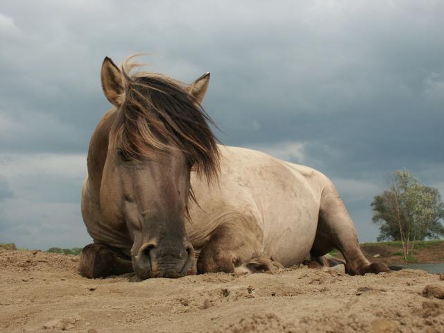 Tarpan, wild horse (Photo: Twan Teinussen)