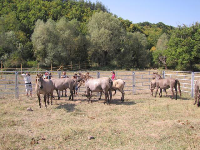 Dutch tarpans in Eastern Rhodopes (Photo: Dessislava Kostadinova)