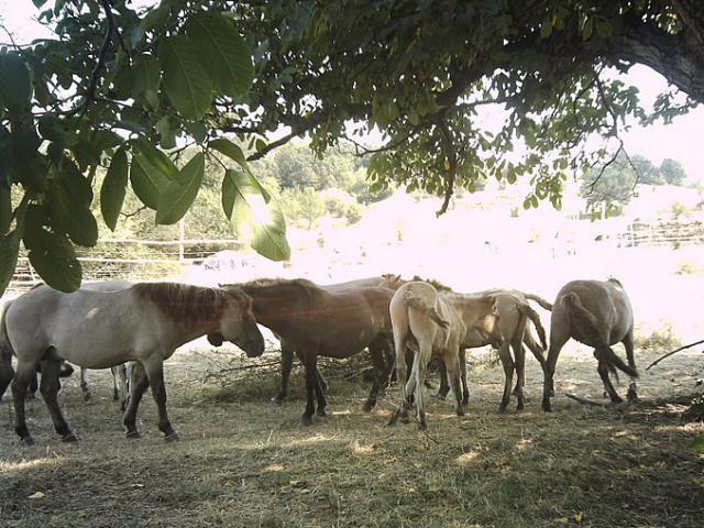 The tarpans in the village of Sbor, Eastern Rhodopes (Photo: Hristo Hristov)