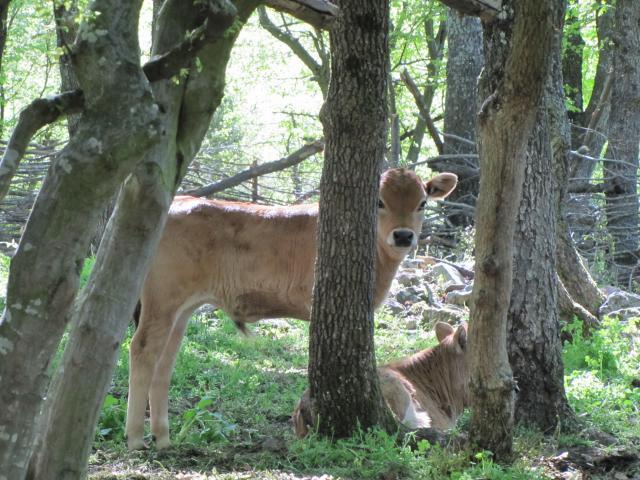 Родопско късорого теле (сн. Десислава Костадинова)