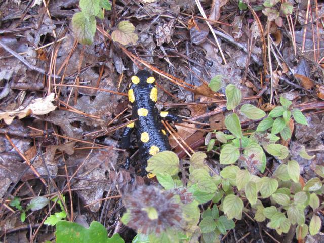Fire Salamander, Salamandra salamandra (pic. Hristo Hristov)