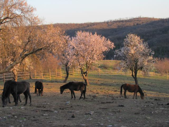 Karacachan horses in the village of Kostilkovo (pic. Dessislava Kostadinova)