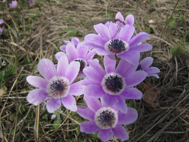 Anemone pavonina (pic. Dessislava Kostadinova)