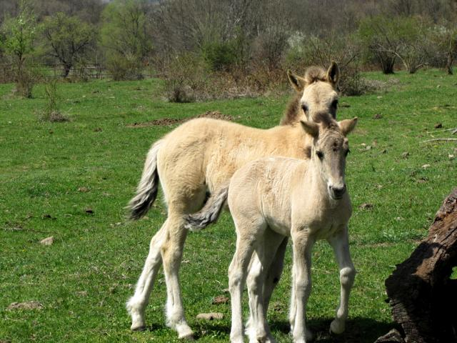 Foals in the village of Sbor (pic. Hristo Hristov)