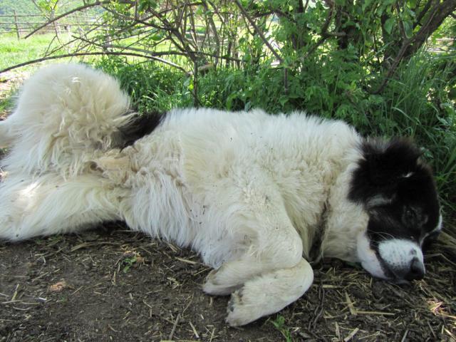 Karabash sleep (pic. Ralitsa Raykova)