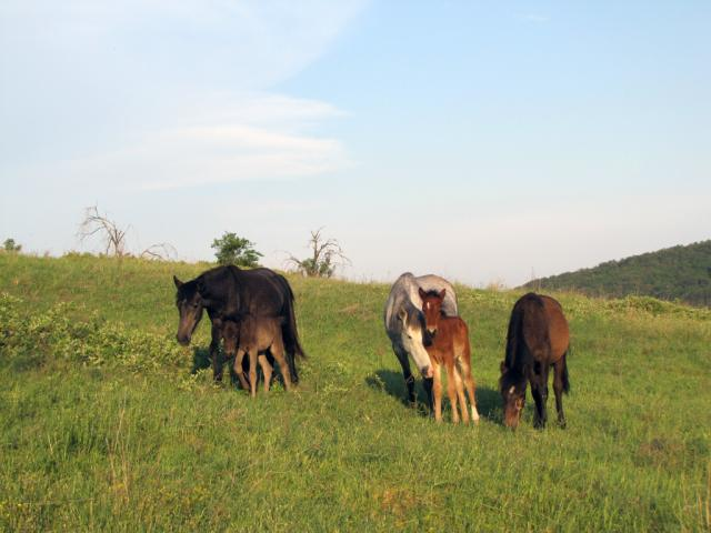 Karakachan foals near the village of Kostilkovo (pic. Dessislva Kostadinova)