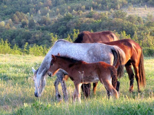 Karakachan foals near the village of Kostilkovo (pic. Dessislava Kostadinova)