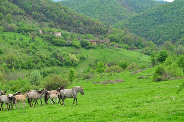 Tarpans near Sbor, Krumovgrad area - April 2012 (pic. Veneta Nikolova)