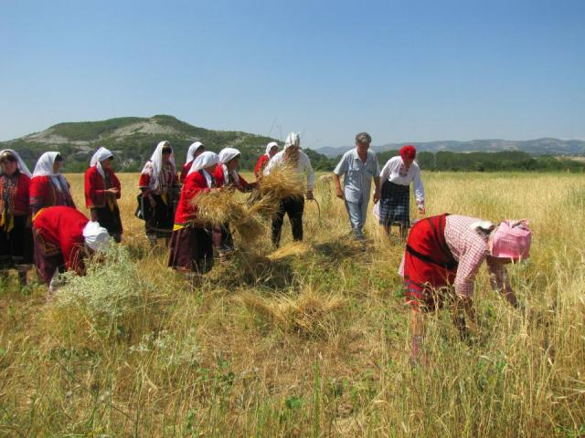 Harvesting the spelt like in the past (pic. Iva Tontcheva)