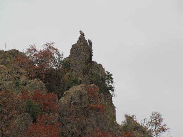 Griffon vulture near Madzharovo (pic. Dessislava Kostadinova)