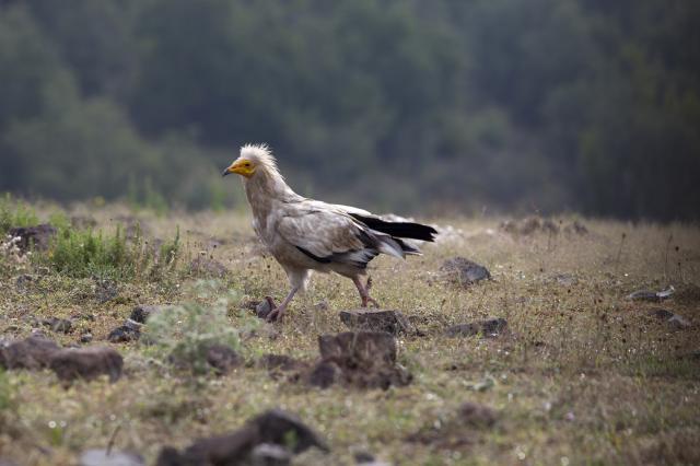 Egyptian Vulture in Studen Kladenets nature reserve (Photo: Stefan Avramov)