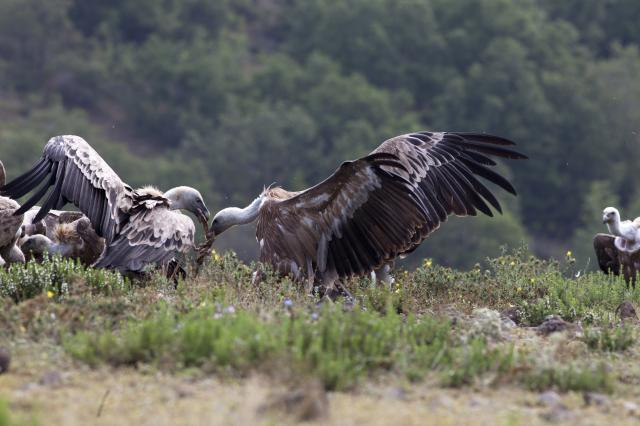 Griffon Vultures are battleing for food in Studen kladenets (Photo: Stefan Avramov)