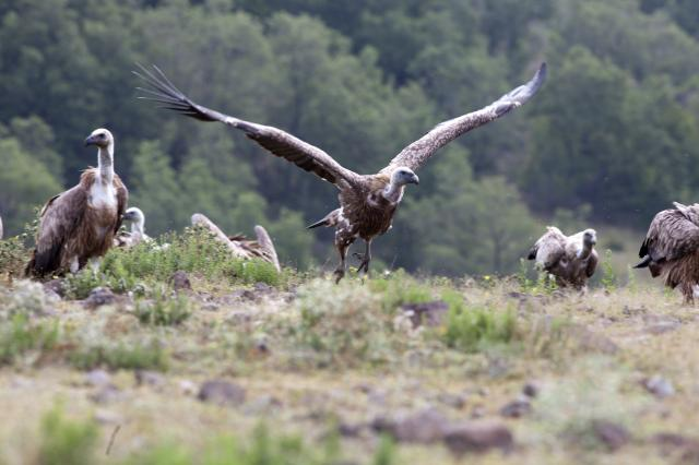 Griffon Vulture in Studen kladents about to fly (Photo: Stefan Avramov)
