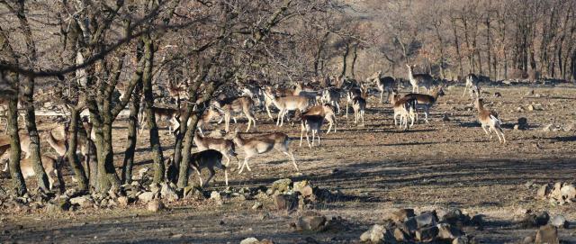Стадо елени лопатари в резервата