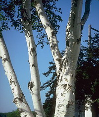 Belite brezi