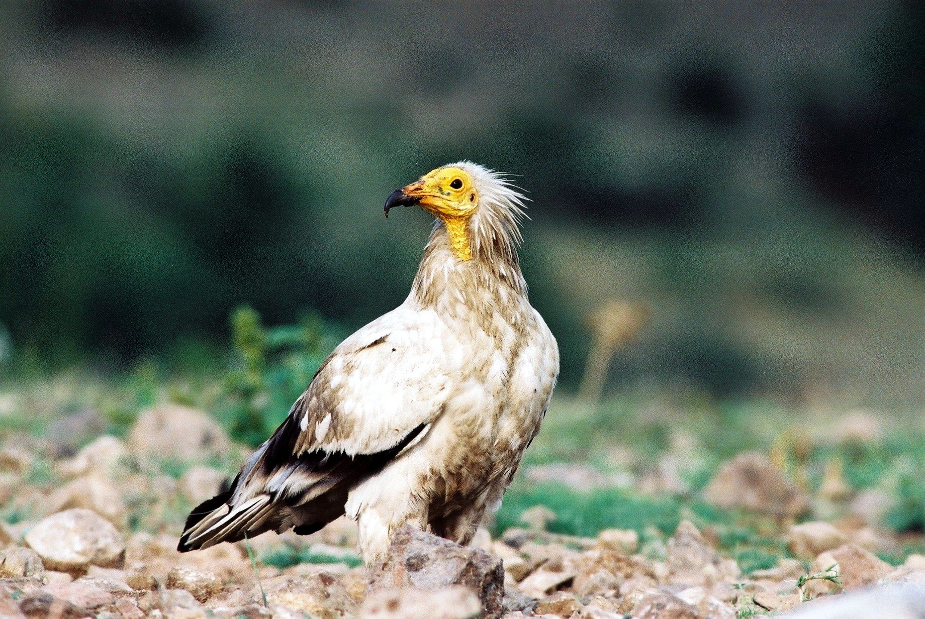 Egyption Vulture